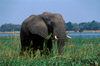 Zambezi River, Matabeleland North province, Zimbabwe: an African Elephant forages in the river shallows- Loxodonta Africana - photo by C.Lovell