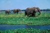 Zambezi River, Matabeleland North province, Zimbabwe: herd of African Elephant foraging in the river shallows- Loxodonta Africana - photo by C.Lovell