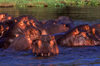 Zambezi River, Matabeleland North province, Zimbabwe: large pod of Hippos enjoying the river comfort - photo by C.Lovell