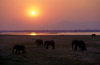 Matusadona National Park, Mashonaland West province, Zimbabwe: African Elephants are matriarchal society with the bulls living separately - sunset and herd by the lake - Loxodonta Africana- photo by C.Lovell