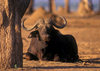 Matusadona National Park, Mashonaland West province, Zimbabwe: a bull Cape Buffalo rests under a tree - Syncerus Caffer - African Buffalo - photo by C.Lovell