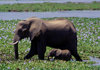 Matusadona National Park, Mashonaland West province, Zimbabwe: mother and baby walk in the water - African Elephants are splendid mothers and often the daughters live in moms herd for life - Loxodonta Africana - photo by C.Lovell