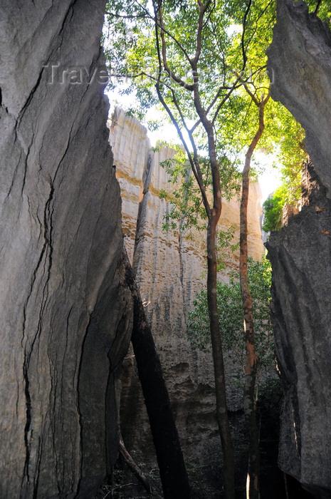 madagascar299: Tsingy de Bemaraha National Park, Mahajanga province, Madagascar: narrow canyon - trees reach for light - UNESCO World Heritage Site - photo by M.Torres - (c) Travel-Images.com - Stock Photography agency - Image Bank